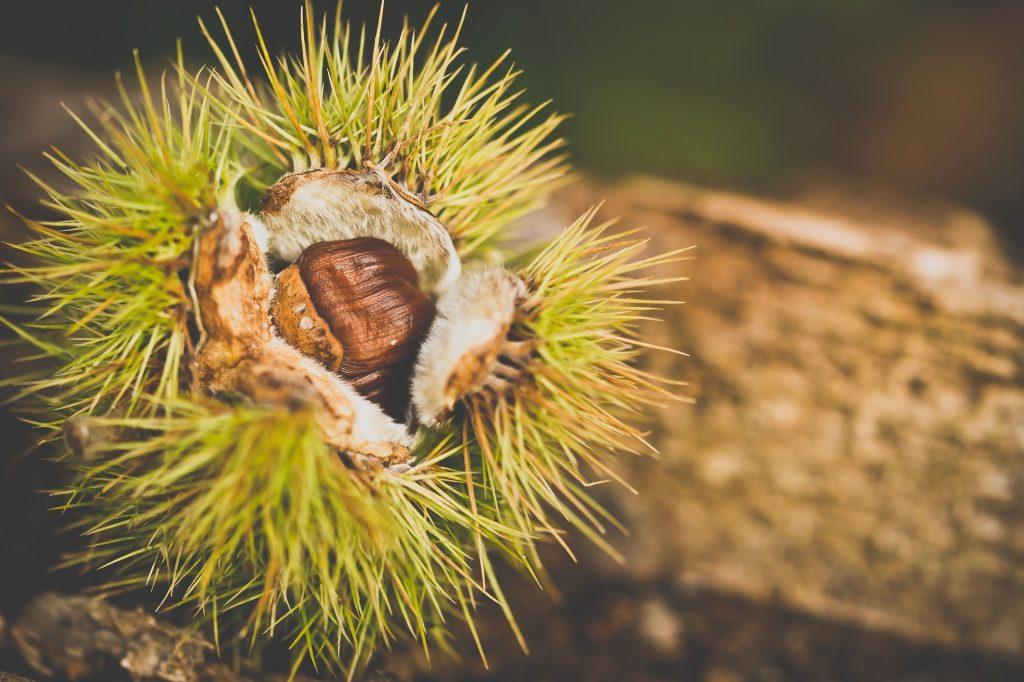 Imagen de castañas para ilustrar el producto castañas de Tenerife
