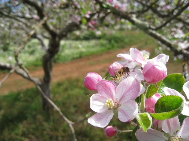 Imagen de la floración de la manzana reineta de Tenerife, que se usa para elaborar la sodra de Canarias